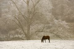 Lonely horse in the snow. Lonely horse looking for grass in the snow, with beautiful tree in the background royalty free stock image