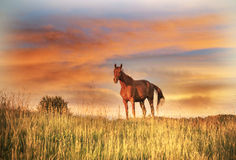 Lonely horse on warm summer evening stock photo