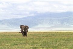 Lonely huge elephant inside the crater of Ngorongoro. Tanzania, Africa. Lonely huge elephant inside the crater of Ngorongoro. Tanzania, Eastest Africa Stock Image