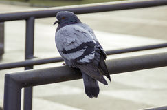 Lonely and a hungry pigeon Royalty Free Stock Photography