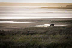Lonely hippo. A lonely hippo having a bath in Saint Lucia Bay, South Africa Royalty Free Stock Images
