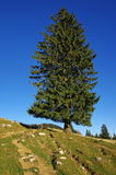 Lonely tree. Isolated fir on the mountain. Mountain landscape Stock Photos