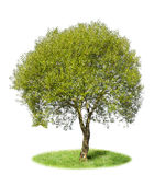 The lonely isolated tree - the Willow. Ordinary. A green lawn, a sunny day stock image