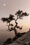 Lonely juniper tree with full moon. At sunset stock image