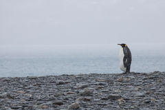 Lonely king penguin Royalty Free Stock Images