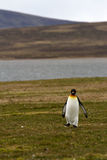 Lonely king penguin Stock Image