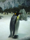 Lonely king penguin in zoo Australia Royalty Free Stock Images