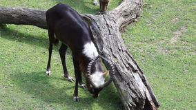 Lonely Kobus Megaceros Antelope Royalty Free Stock Photo