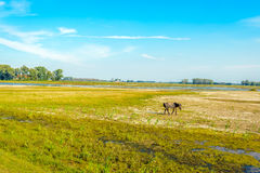 Lonely Konik horse walking in a Dutch nature reserve Stock Photo
