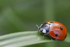 Lonely Ladybug Stock Image