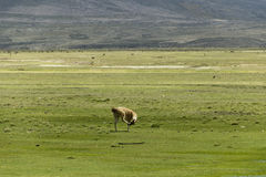 Lonely lama scratching his head Stock Images