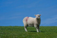 A lonely lamb. Lonely lamb at a meadow Royalty Free Stock Images