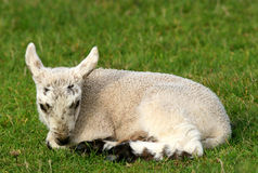Lonely Lamb Royalty Free Stock Image