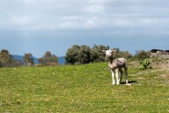 Lamb looking for his mother in the pasture. Spring and sunny day. Alburquerque, Extremadura, Spain. stock photo