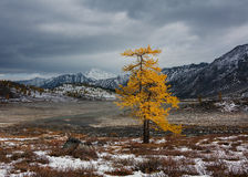 Lonely larch in autumn Stock Image