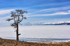 Lonely larch on lonely shores of Lake Hovsgol Stock Image