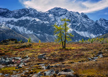 Lonely larch in mountains Stock Images