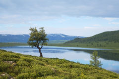 Lonely larch tree on the shore of a mountain lake Stock Images