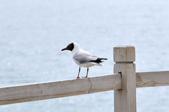 Lonely Larus brunnicephalus. In rest Royalty Free Stock Image