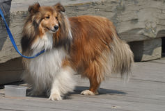 Lonely Lass. Rough Collie is tied with a leash on a boardwalk, looking for her owner Royalty Free Stock Photography