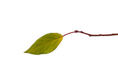 Lonely leaf on branch isolated Stock Photos
