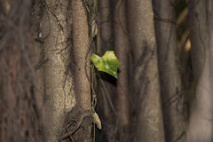 Lonely leaf among the Branches Royalty Free Stock Image