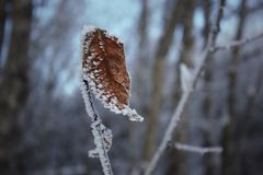 A lonely leaf. Frosted from the cold, a crispy leaf hangs on with all its might Royalty Free Stock Photos