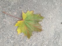 Lonely leaf. Lonely maple leaf on the asphalt Royalty Free Stock Photos