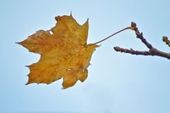 Lonely leaf on a tree in autumn. This photo was taken in Hungary nearby Balaton on autumn. All of the leaves fell down except this lonely one Stock Photos