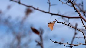 Lonely leaf on a tree branch, waving in the wind, cold winter weather, autumn garden, melancholy nature video stock footage
