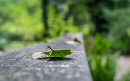 Lonely leaf on wooden ramp. A lonely leaf on wooden ramp, in a french forest Royalty Free Stock Image