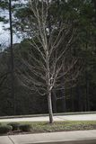 Lonely, Leafless Winter Tree. Leafless tree in the winter season during the day royalty free stock photo