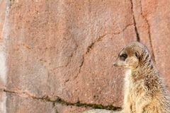 Lonely left staring meerkat royalty free stock images
