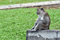 Lonely life of monkeys Royalty Free Stock Photos