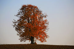 Lonely lime tree in autumn colors Royalty Free Stock Photography