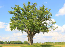 Lonely linden tree Stock Photos
