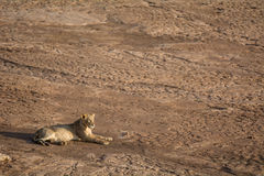 Lonely lion is lying in the African sun Royalty Free Stock Photography