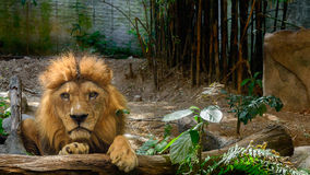 Lonely Lion Stock Images