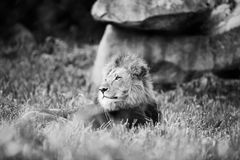 Lonely Lion Stock Photo