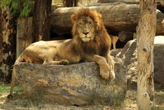 A Lonely Lion on the rocks Stock Photography