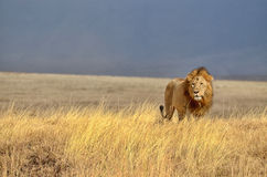 Lonely Lion Royalty Free Stock Images