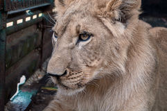 Lonely lioness lies on the feet and sad. In a cage in a zoo lion lies on the feet and sad Royalty Free Stock Images
