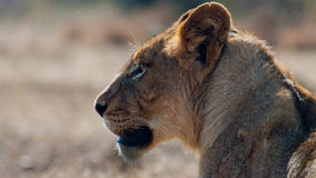 Lonely Lioness looking into the far distance Stock Photo