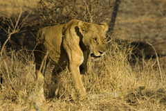 Lioness in Mikumi National Park. Lonely lioness in savannah of Mikumi National Park, Tanzania Royalty Free Stock Photo