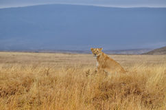 Lonely lioness Stock Images