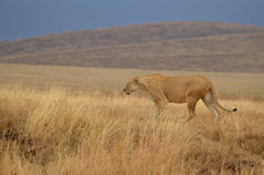 Lonely lioness 2 Stock Images