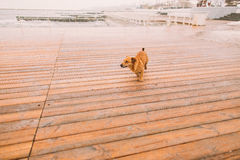 Lonely little dog looking at the sea in the berth. Rainy autumn  day Stock Photography