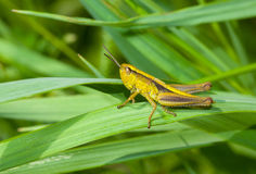 Lonely Little Grasshopper Stock Photo