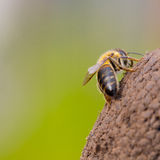 Lonely little honey bee Royalty Free Stock Images