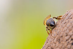 Lonely little honey bee Stock Photo